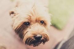 Eye Certification for Breeding dogs
