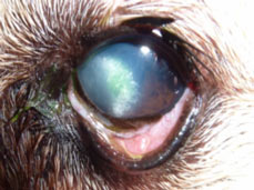 Corneal Lipid In Dogs