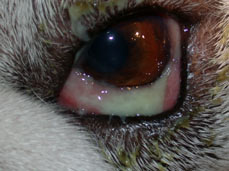 Dry Eye In Dogs