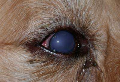 glaucoma in dogs w