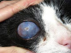 Glaucoma In Cats