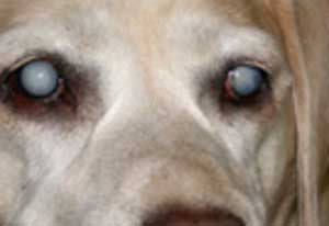 labrador cataracts
